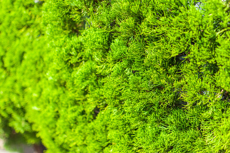 Green pine background, selective focus.