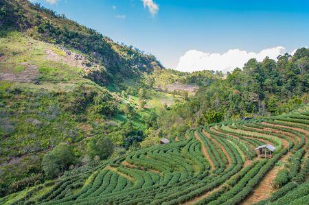 Tea plantation in mountain view. Stock fotó