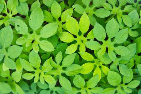 green leaves: green leaf Stock Photo