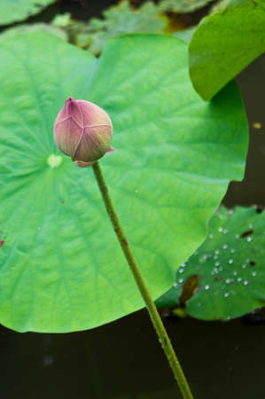 pink lotus over the pond