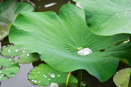 water on lotus leaf