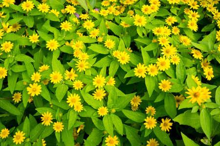 garden of yellow flowers