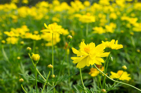 beautiful yellow flowers Stock Photo