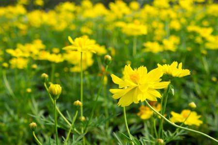 beautiful yellow flowers Stock Photo