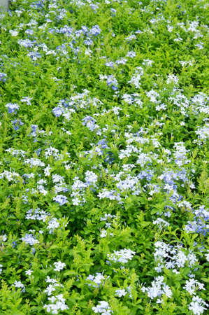 garden of blue flowers Stock Photo