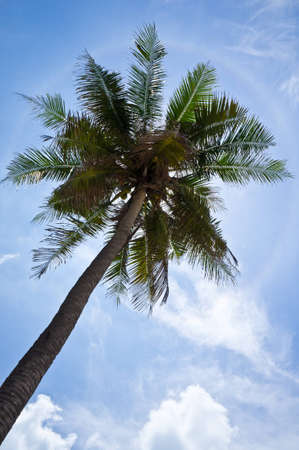 coconut plan tree on blue sky Stock Photo