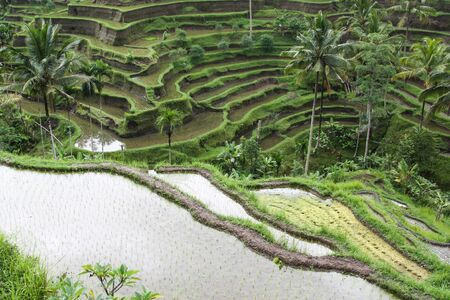 campesino: The rice terraces in countryside of Bali, Indonesia