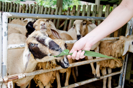 animal parts: Feeding sheep with grass in the sheep farm