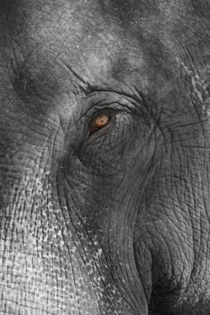 An eye of Asian Elephant wildlife