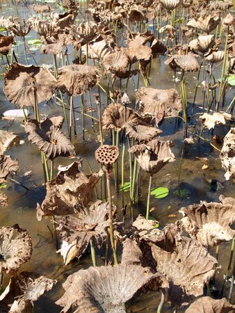 Many wither lotus in pond photo