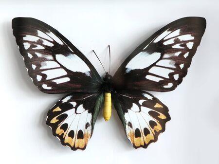 primus: Ornithopeta Primus Poseidon  Beautiful giant butterfly stuffed