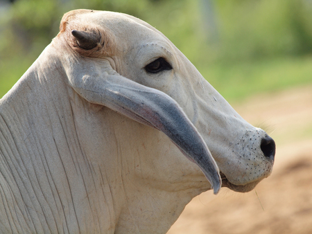 A white Indian cow standing  photo