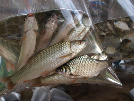 fished: Fished in plastic bag prepare for breed