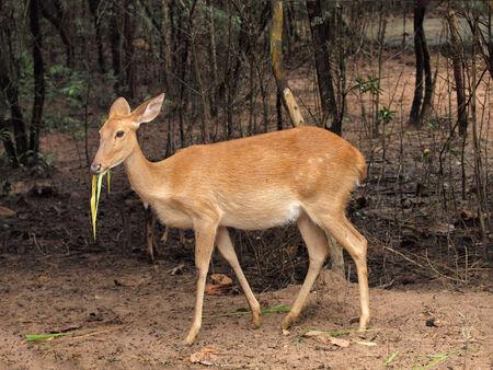 deer spot: Asian deer with standing in zoo Stock Photo