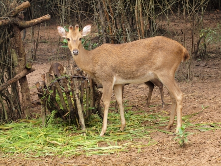 Asian deer with standing in zoo photo