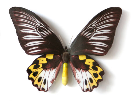 Stuffed insect Butterfly Troides Hypolitus