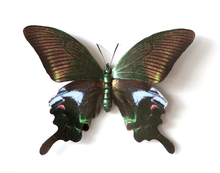 Stuffed insect Butterfly Papilio Maackii Maackii photo