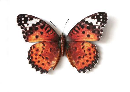biblis: Stuffed insect Butterfly Cethosia Biblis Picta Stock Photo