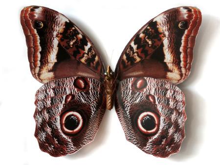 Insecte bourr� papillon Caligo Memnon