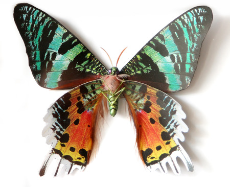 Stuffed insect Butterfly Urania Ripheus