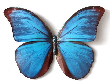 morpho menelaus: Insecto de la mariposa Morpho Menelao rellenas