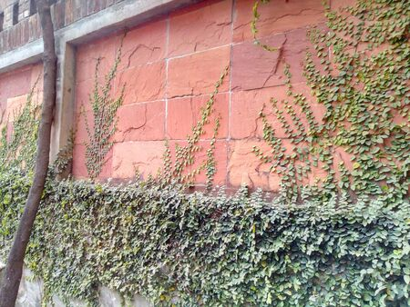 Creeping Fig on Beautiful Wall