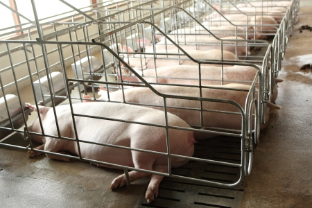 pig farm: Vanish view of Inside of Big breeding pig farm  Stock Photo