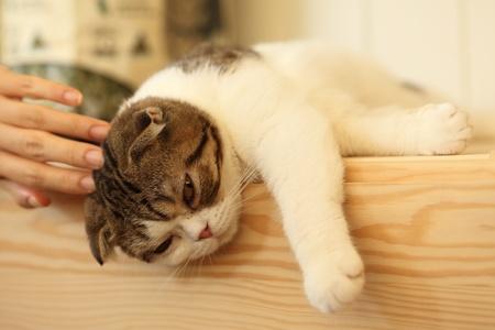 shorthair: Sleepy shorthair cat