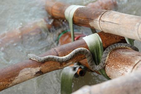 semi aquatic: Puff-faced Water Snake