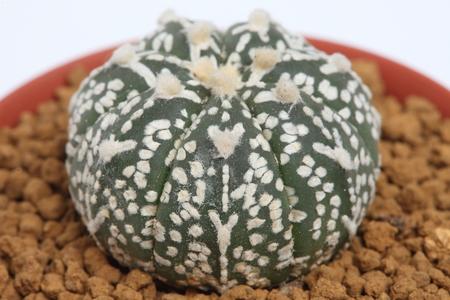 Succulent   Succulent   Astrophytum   Asteria cactus photo