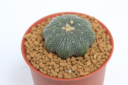 Succulent   Succulent   Astrophytum   Asteria cactus in the small  photo
