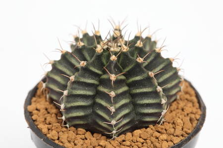 microdasys: Close up of gymnocalycium friedrichii cactus in a pot