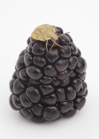 green shield bug: A green shield bug eating blackberries