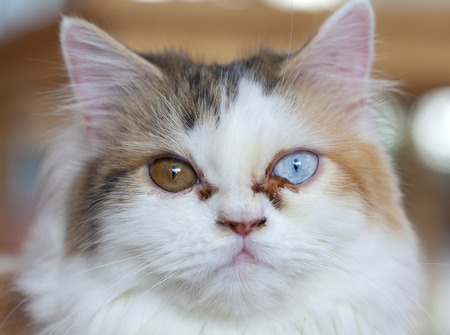 cat eye: beautiful white cat with different color of eyes
