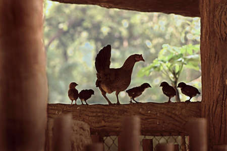 Mother hen on a fence with chicks photo
