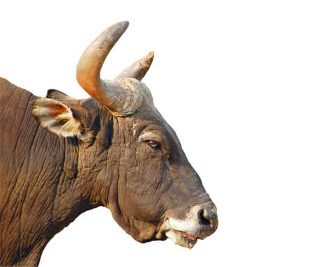formidable: Banteng bulls head isolated with clipping path