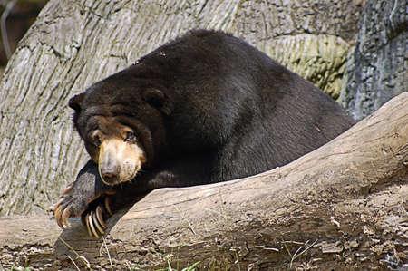 An adult Malaysian sun bear relaxing on a log Stock Photo - 642442