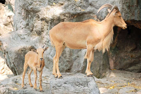 cabra montes: Mujeres j�venes con cabra mont�s chico detr�s de ella Foto de archivo