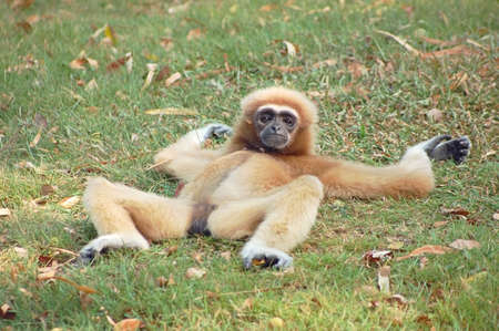 A female gibbon relaxing on the grass Stock Photo - 642545