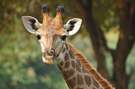 Portrait of head and neck of young giraffe