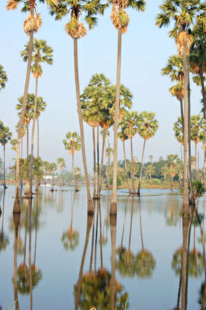 A flooded sugarpalm grove in central Thailand Stock Photo - 642496