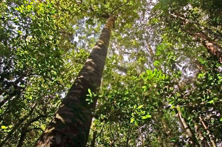 canopy: Tall tropical rainforest canopy in western Thailand