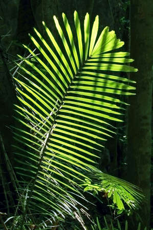 Rattan leaf in a glade in a Thai forest Stock Photo - 687398