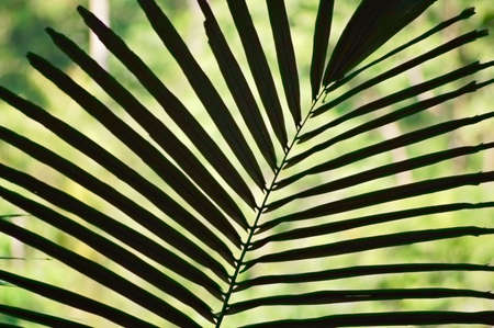 A rattan palm leaf in a Thai forest Stock Photo - 687401
