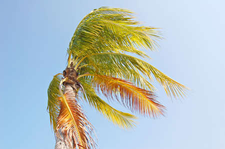 blustery: Coconut palm tree bending in a strong wind Stock Photo