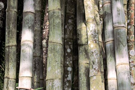 erect: Bamboo stems in a grove from Thailand