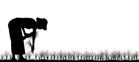Editable silhouette of an asian woman planting rice seedlings in a paddy field
