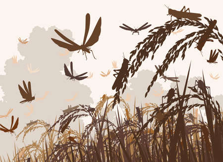 Vector illustration of a swarm of locusts attacking rice plants and threatening food security Vectores