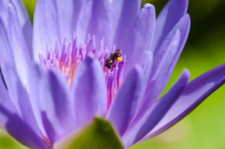 Purple lotus, Thailand  photo
