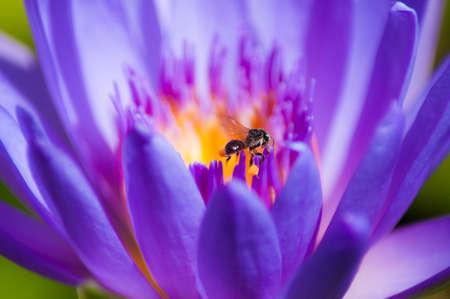 Purple lotus, Thailand